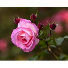 Fragrance Musc Rose