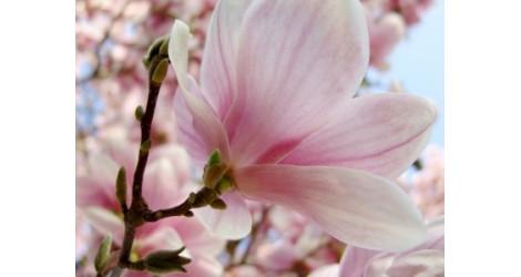 Fragrance Magnolia