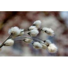 Fragrance Fleur de Coton