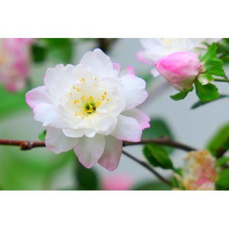Fragrance Fleur de cerisier (Grasse)
